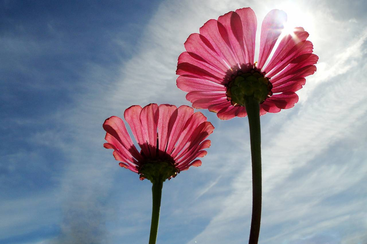 Petty-Pink-Flowers-Clear-Sky-1280x853
